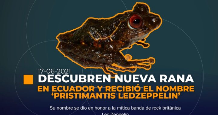 Rana 'Led-Zeppelin' en Ecuador
