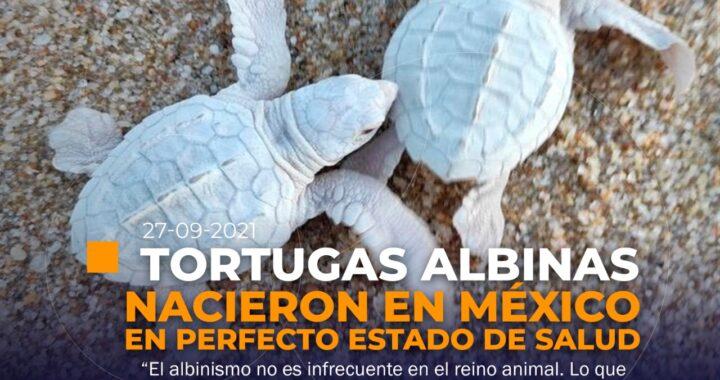 Nacen dos tortugas albinas en México