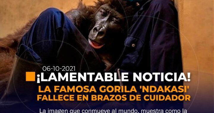 Gorila famosa fallece a brazos de su cuidador.